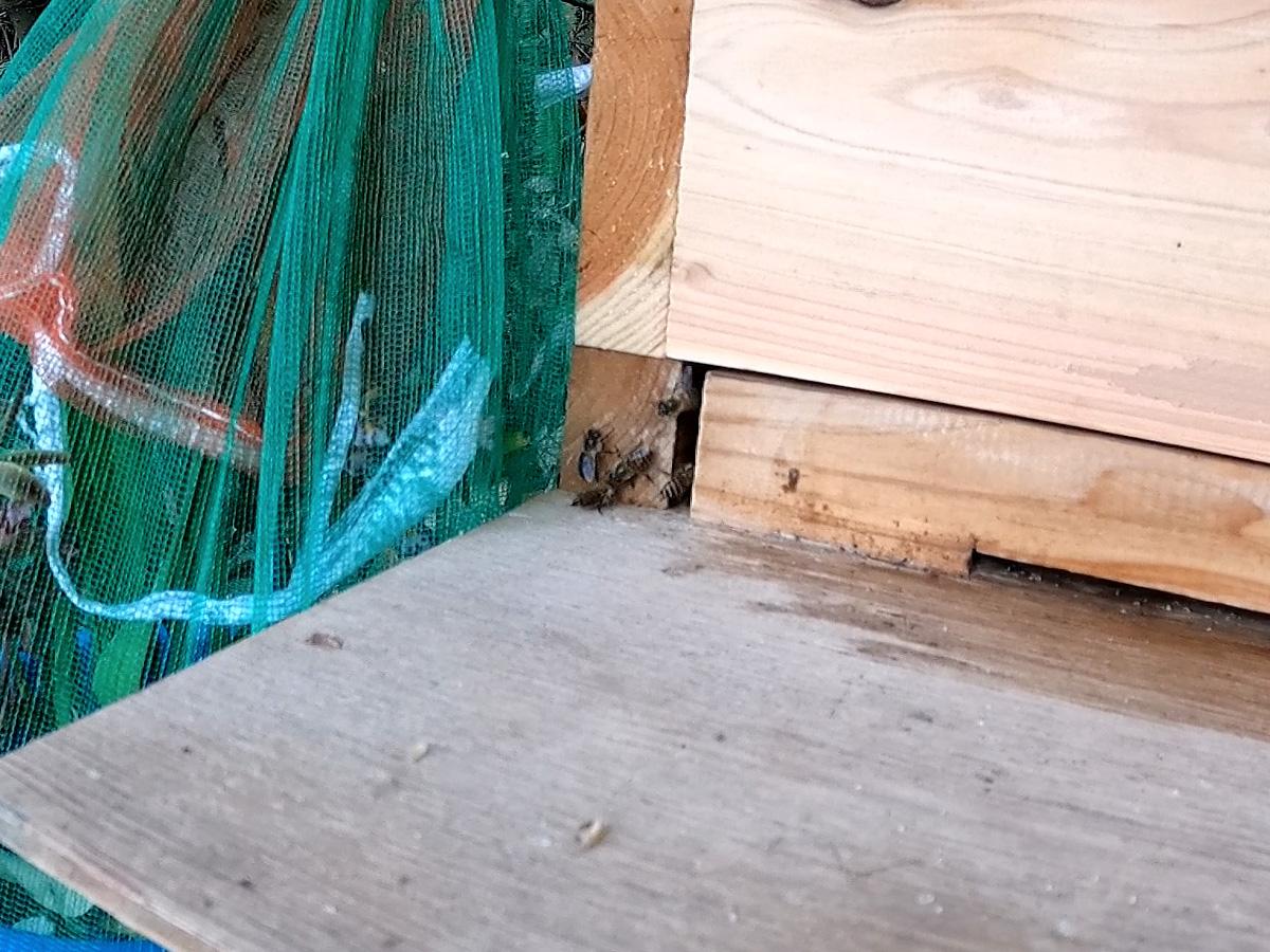 巣門の蜜蜂
